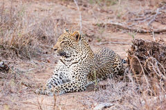 Leopard lying Royalty Free Stock Photography
