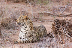 Leopard lying Stock Photo