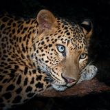 Leopard. Lying on a log royalty free stock photography