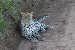 Leopard lying on the road Royalty Free Stock Photography
