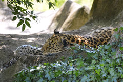 Leopard lying on rock Royalty Free Stock Photos