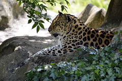 Leopard lying on rock Stock Images