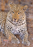 Leopard lying in savannah Royalty Free Stock Photo