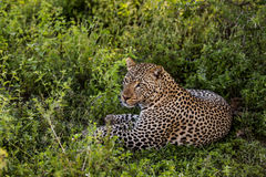 Leopard lying, Serengeti Royalty Free Stock Photo