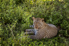 Leopard lying, Serengeti, Tanzania Royalty Free Stock Photography