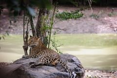 Leopard lying on stone near brook. Stock Photo