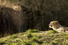 Leopard lying in the sun Royalty Free Stock Photography
