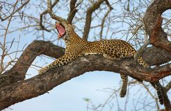 Leopard lying on the tree Stock Images