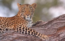 Leopard lying on the tree. Leopard (Panthera pardus) lying on the tree in nature reserve in South Africa. Shot in the evening Stock Images
