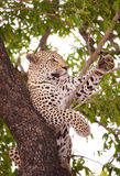 Leopard lying on the tree Royalty Free Stock Photos