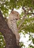 Leopard lying on the tree Stock Photos