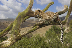 Leopard. A leopard lying in a tree Royalty Free Stock Image