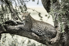 Leopard lying on a tree branch in Serengeti Royalty Free Stock Images