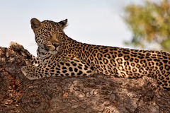 Leopard lying in tree Royalty Free Stock Image