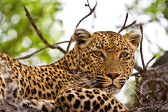 Leopard lying in tree Royalty Free Stock Photo