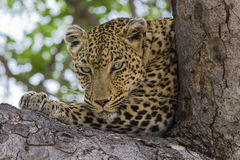 Leopard lying in tree in the shade resting Royalty Free Stock Photo