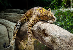 Leopard. Lying in a tree, Singapore Royalty Free Stock Photos