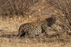 Leopard Madikwe lekreserv Arkivfoto