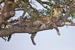 Leopard magic. Leopard on its favourite spot at Masai Mara national park - Kenya Stock Photography