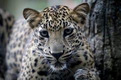 Leopard in Malacca Zoo. Malaysia royalty free stock photos
