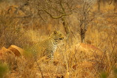 Southern african animals. Leopard male at Kruger National Park Stock Photo