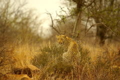 Southern african animals. Leopard male at Kruger National Park Royalty Free Stock Photo