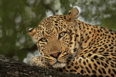 Leopard male Portrait2 stock images