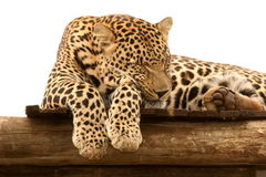 Leopard male sleeping Royalty Free Stock Photography