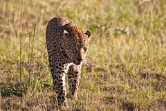 Leopard male walking through grass field Royalty Free Stock Photography