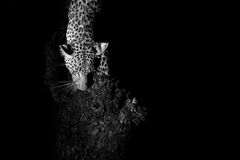 Leopard marks his territory on a tree in darkness artistic conve Stock Image