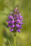 Leopard Marsh Orchid Stock Images