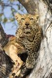 Leopard med byte Royaltyfri Fotografi