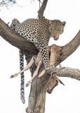 leopard med ett byte arkivbilder