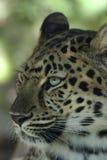 leopard mg 3594 amur Στοκ Εικόνες