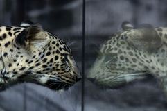 Leopard in the mirror Stock Photo