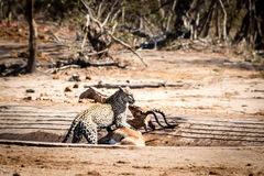 Leopard mit einer Impala Stockbild