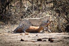 Leopard mit einer Impala Lizenzfreie Stockfotografie