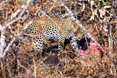 Leopard mit gejagtem liebem Stockfotos