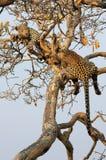 Leopard mit Jungem Lizenzfreie Stockfotografie