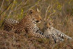 Leopard mit sitzendem Jungem Stockbild