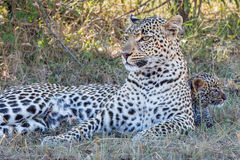 Leopard Mom with Leopard Cub stock photo