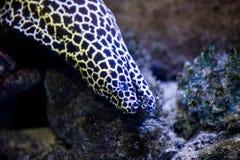 Leopard moray close up Stock Photography