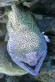 Leopard Moray eel. Close-up of Leopard Moray eel or Dragon Moray with open mouth in the coral reef. Enchelycore Pardalis species living in Indo-Pacific oceans Stock Image