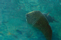 Leopard moray eel, Enchelycore pardalis Royalty Free Stock Photography