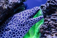 Leopard moray eel fish. Close-up Stock Photos