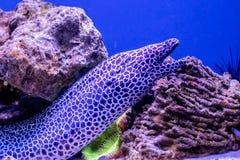 Leopard moray eel fish. Close-up Stock Photo