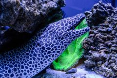 Leopard moray eel fish. Close-up Stock Images