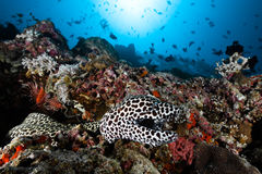 Leopard moray eel Stock Photography