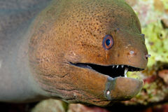 Leopard moray eel Stock Photo
