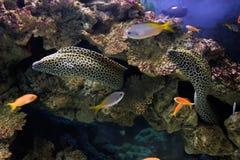 Leopard moray (Gymnoihorax favagineus). In an oceanarium Royalty Free Stock Photography